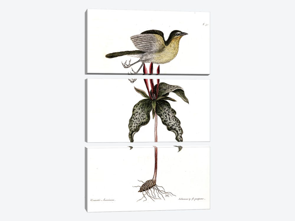 Yellow-Breasted Chat & Toadshade by Mark Catesby 3-piece Canvas Print