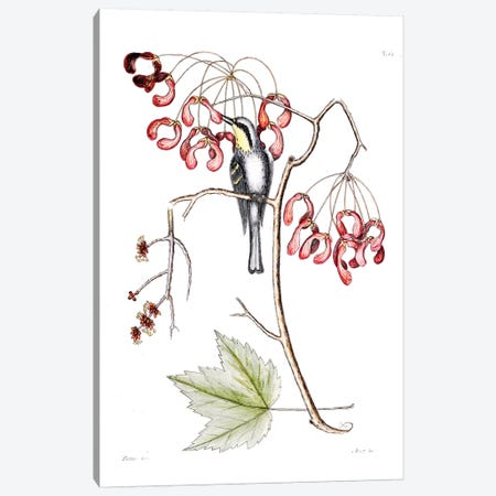 Yellow-Throated Creeper & Red Flowering Maple Canvas Print #CAT186} by Mark Catesby Canvas Print