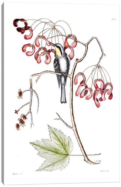 Catesby's Natural History Series: Yellow-Throated Creeper & Red Flowering Maple Canvas Print #CAT186
