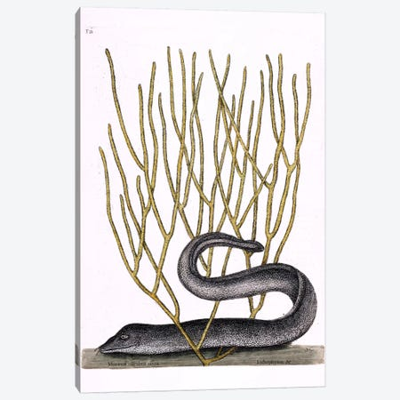 Black Moray Eel & Lithophyton Canvas Print #CAT18} by Mark Catesby Canvas Art Print
