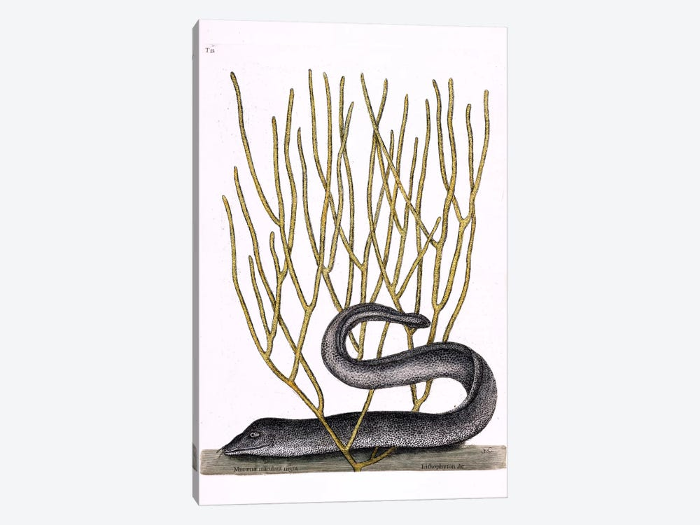 Black Moray Eel & Lithophyton by Mark Catesby 1-piece Canvas Wall Art