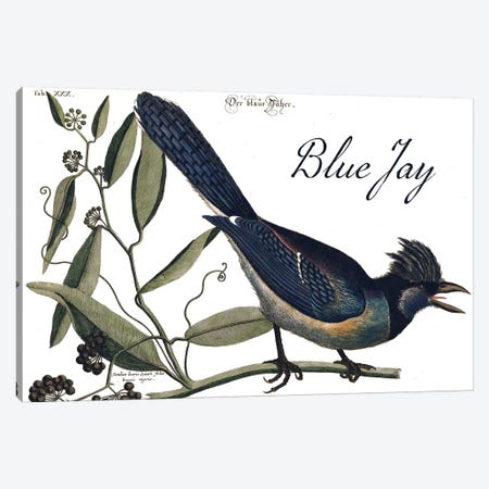 Blue Jay Canvas Print #CAT196} by Mark Catesby Canvas Artwork