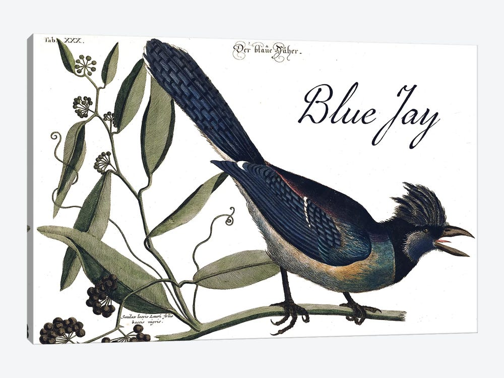 Blue Jay by Mark Catesby 1-piece Canvas Art Print