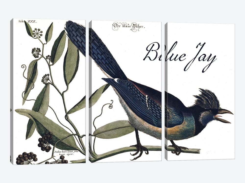 Blue Jay by Mark Catesby 3-piece Canvas Art Print