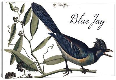 Blue Jay Canvas Art Print