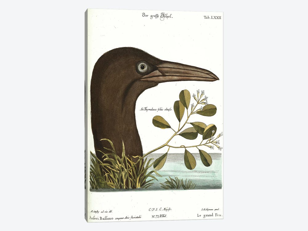 Booby Bird by Mark Catesby 1-piece Canvas Wall Art