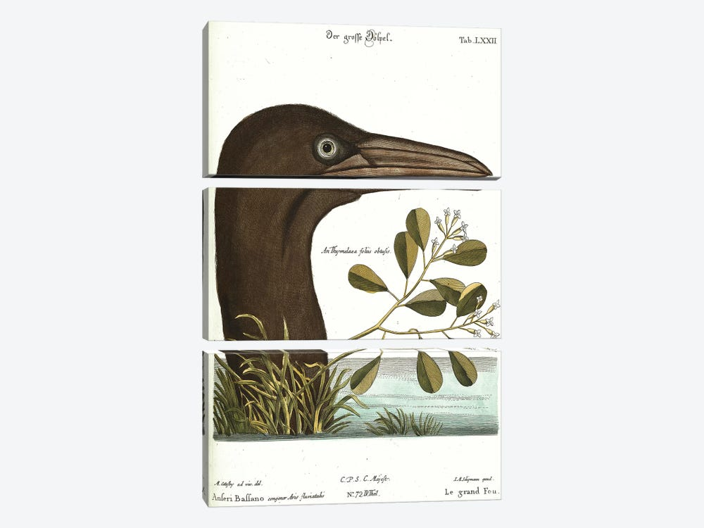 Booby Bird by Mark Catesby 3-piece Canvas Artwork