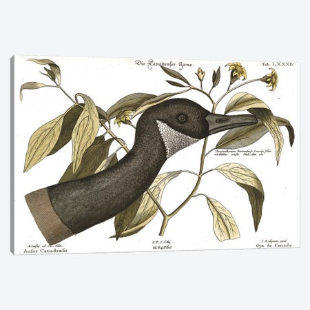Canadian Goose Canvas Print #CAT198} by Mark Catesby Canvas Art Print