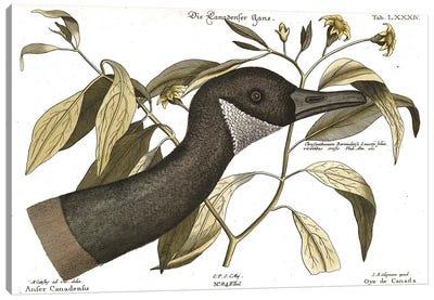 Canadian Goose Canvas Art Print