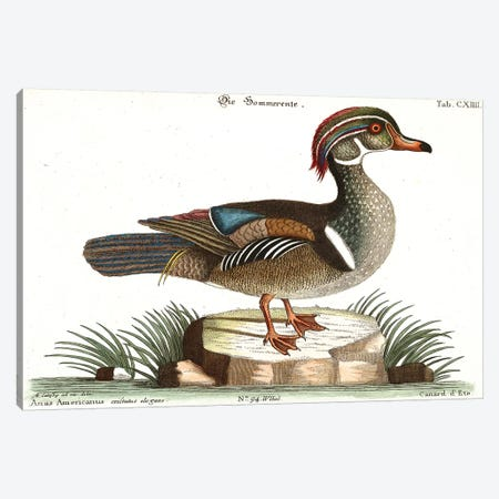 Duck Canvas Print #CAT199} by Mark Catesby Canvas Print