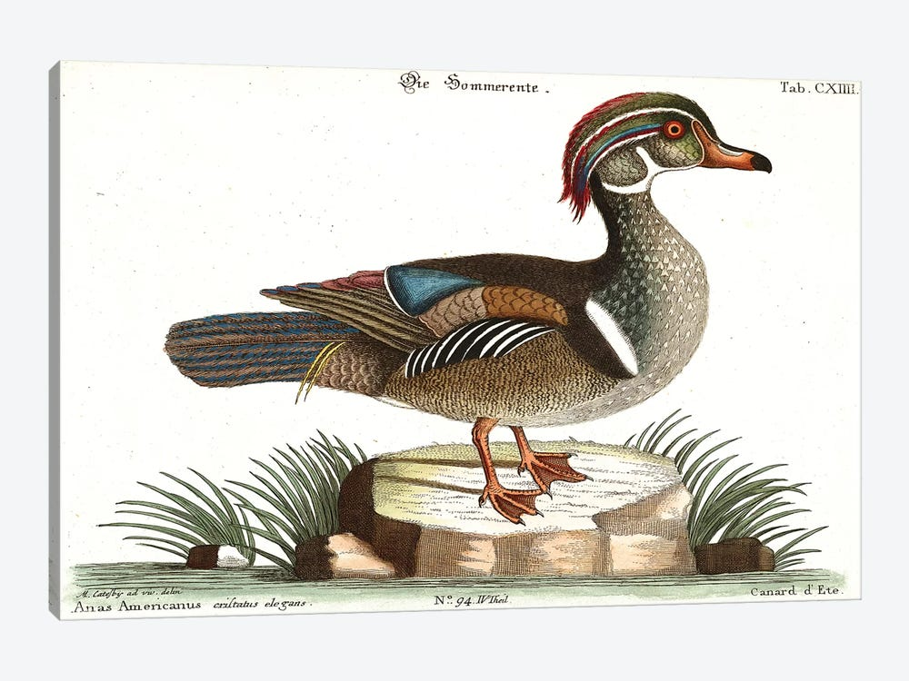 Duck by Mark Catesby 1-piece Canvas Art