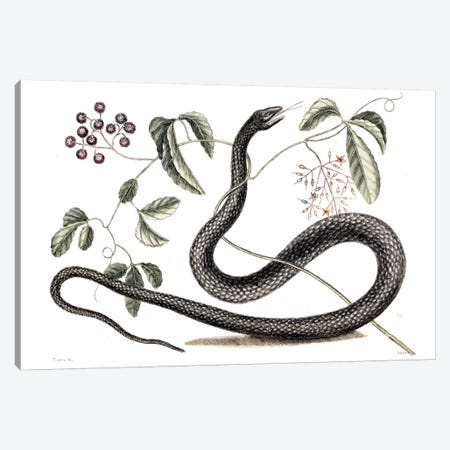 Black Snake & Fruit Bearing Plant Canvas Print #CAT19} by Mark Catesby Canvas Print