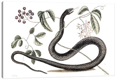 Catesby's Natural History Series: Black Snake & Fruit Bearing Plant Canvas Print #CAT19