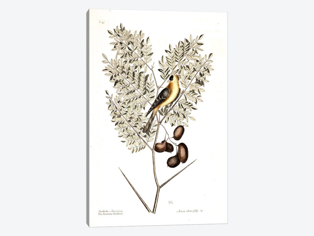 American Finch & Acacia Americana (Honey Locust) by Mark Catesby 1-piece Canvas Print