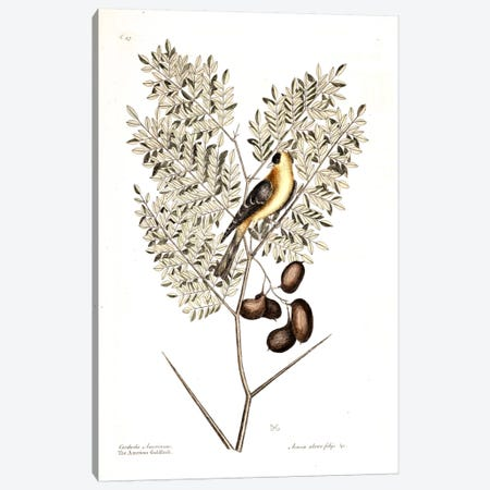 American Finch & Acacia Americana (Honey Locust) Canvas Print #CAT1} by Mark Catesby Canvas Print