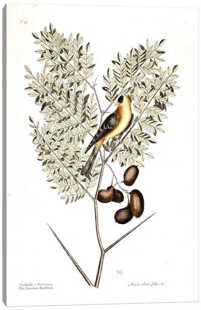 American Finch & Acacia Americana (Honey Locust) Canvas Art Print