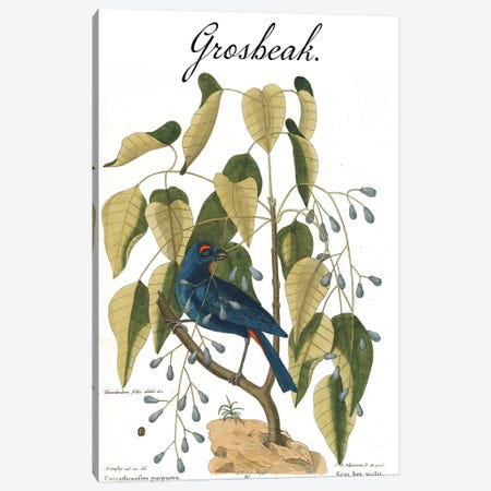 Grosbeak Canvas Print #CAT200} by Mark Catesby Canvas Print