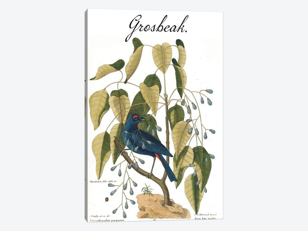 Grosbeak by Mark Catesby 1-piece Canvas Art