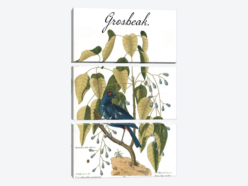 Grosbeak by Mark Catesby 3-piece Canvas Wall Art