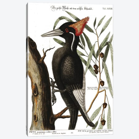 Ivory Billed Woodpecker Canvas Print #CAT201} by Mark Catesby Art Print