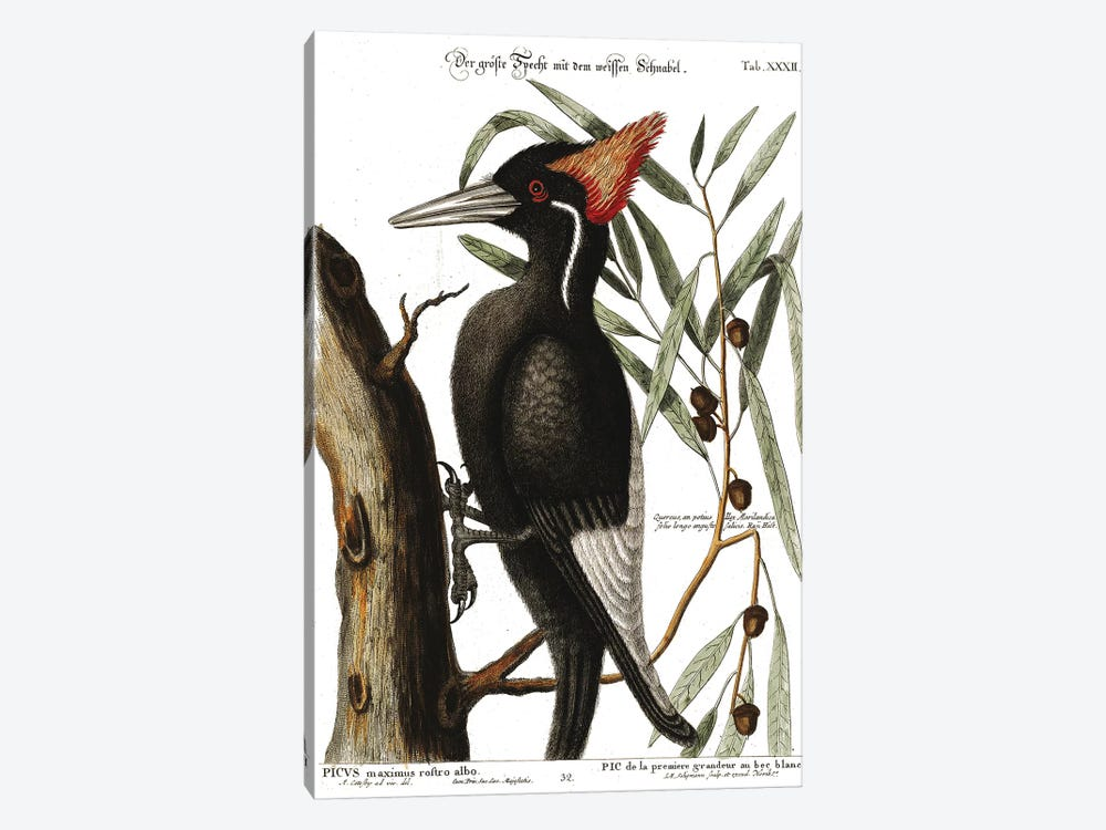 Ivory Billed Woodpecker by Mark Catesby 1-piece Canvas Print
