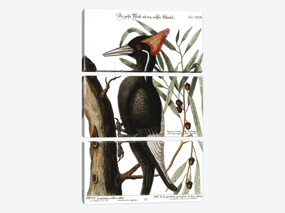 Ivory Billed Woodpecker by Mark Catesby 3-piece Canvas Print