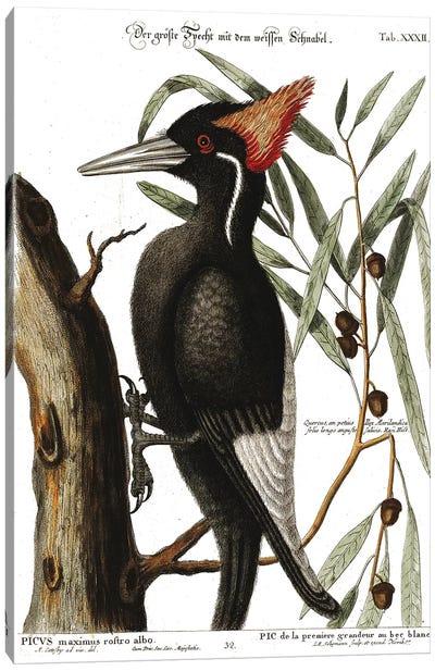 Ivory Billed Woodpecker Canvas Art Print