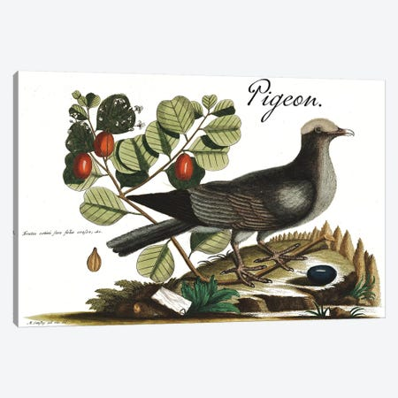 Pigeon Canvas Print #CAT202} by Mark Catesby Canvas Print