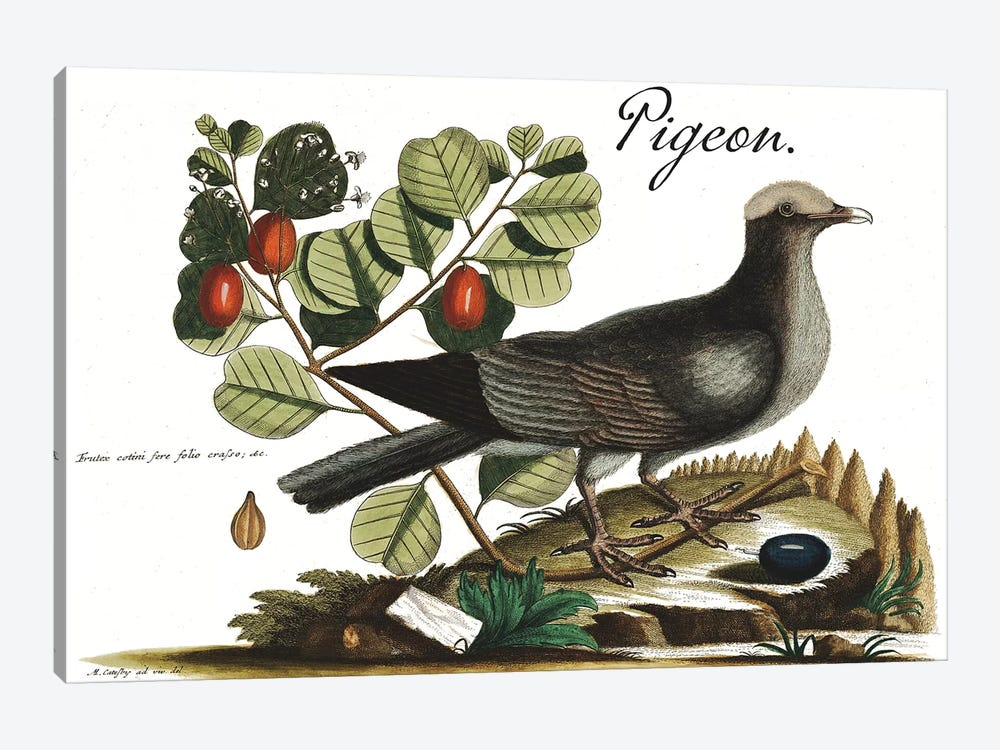 Pigeon by Mark Catesby 1-piece Canvas Wall Art