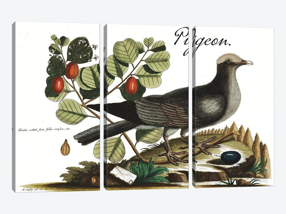 Pigeon by Mark Catesby 3-piece Canvas Art