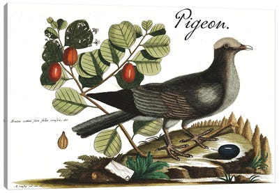 Pigeon Canvas Art Print