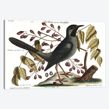 Red Legged Thrush Canvas Print #CAT204} by Mark Catesby Canvas Art