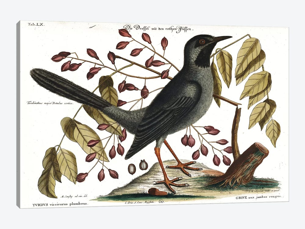Red Legged Thrush by Mark Catesby 1-piece Canvas Artwork