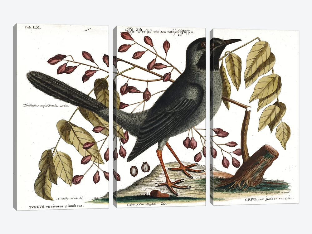 Red Legged Thrush by Mark Catesby 3-piece Canvas Artwork
