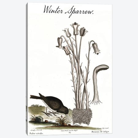Winter Sparrow Canvas Print #CAT205} by Mark Catesby Canvas Art