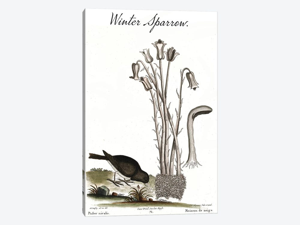 Winter Sparrow by Mark Catesby 1-piece Canvas Art Print
