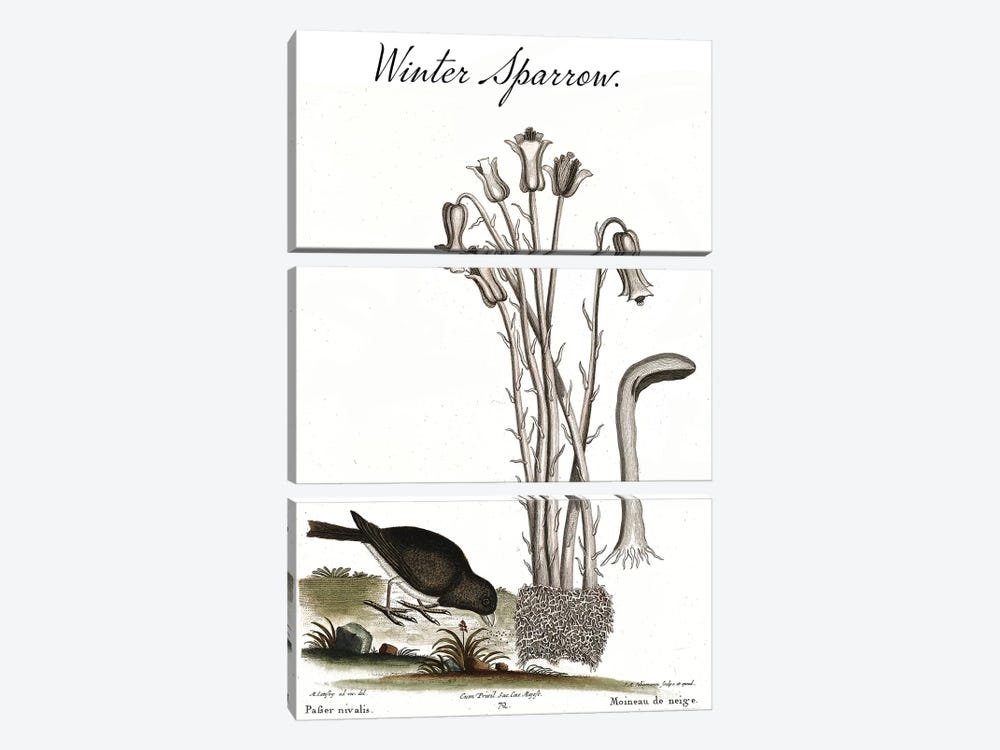 Winter Sparrow by Mark Catesby 3-piece Art Print