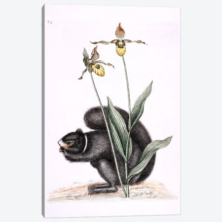 Black Squirrel & Yellow Lady's Slipper Canvas Print #CAT20} by Mark Catesby Canvas Art