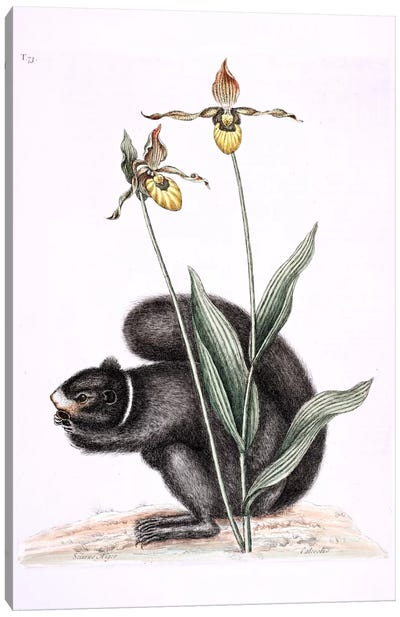 Catesby's Natural History Series: Black Squirrel & Yellow Lady's Slipper Canvas Print #CAT20