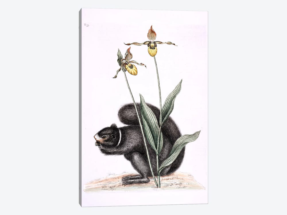 Black Squirrel & Yellow Lady's Slipper by Mark Catesby 1-piece Art Print