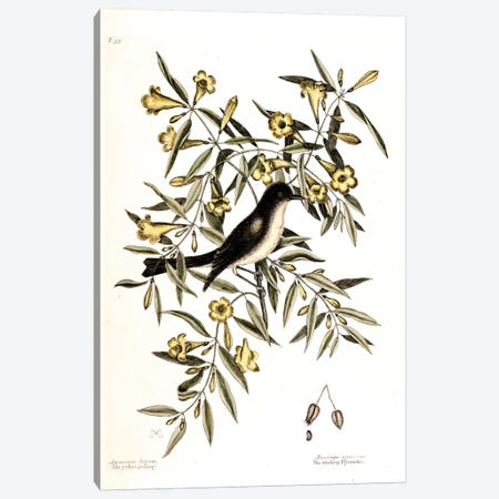 Blackcap Flycatcher & Yellow Jessamy (Carolina Jessamine) Canvas Print #CAT21} by Mark Catesby Canvas Wall Art