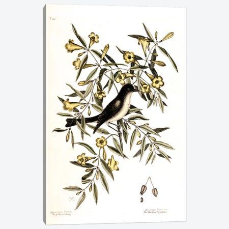 Blackcap Flycatcher & Yellow Jessamy (Carolina Jessamine) Canvas Print #CAT21} by Mark Catesby Canvas Wall Art