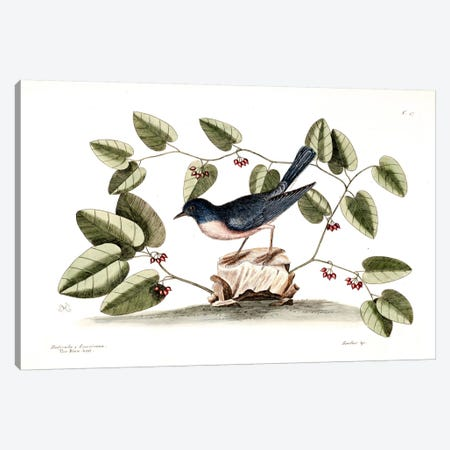 Blue Brid & Smilax Canvas Print #CAT22} by Mark Catesby Canvas Artwork