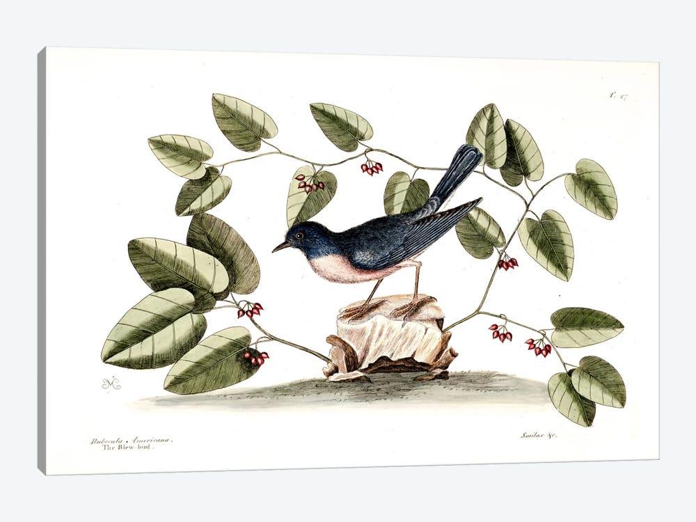 Blue Brid & Smilax by Mark Catesby 1-piece Art Print
