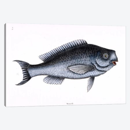 Blue Fish Canvas Print #CAT23} by Mark Catesby Canvas Artwork
