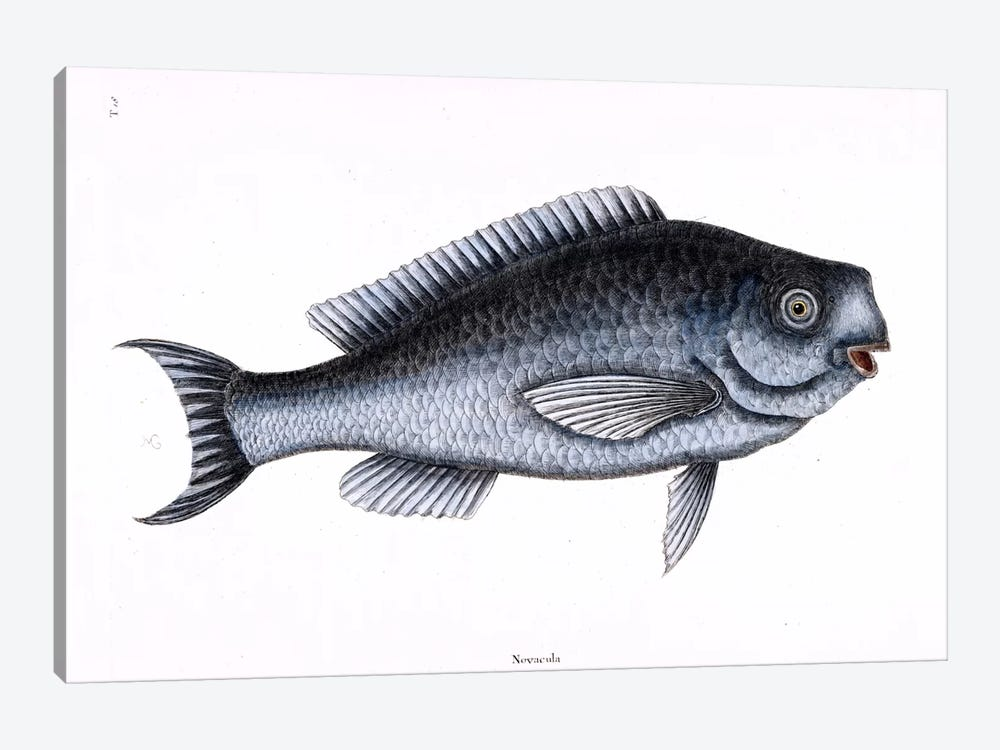Blue Fish by Mark Catesby 1-piece Canvas Wall Art