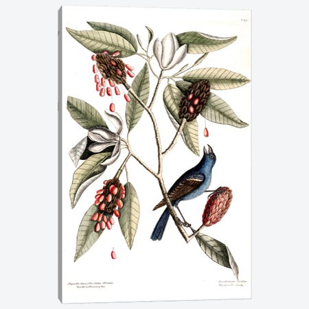 Blue Grosbeak & Sweet Flowering Bay Canvas Print #CAT24} by Mark Catesby Canvas Art Print