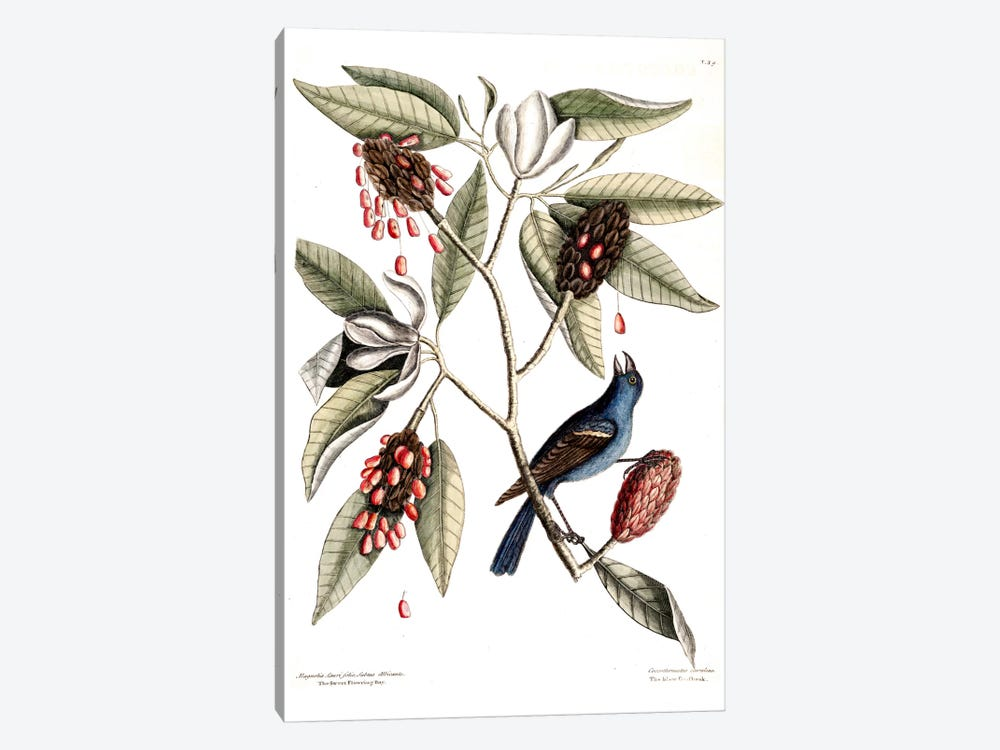 Blue Grosbeak & Sweet Flowering Bay by Mark Catesby 1-piece Art Print