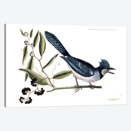Blue Jay & Bay-Leaved Smilax Canvas Print #CAT25} by Mark Catesby Canvas Art Print