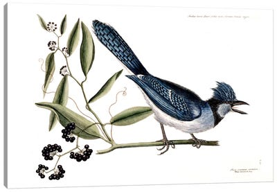 Blue Jay & Bay-Leaved Smilax Canvas Art Print